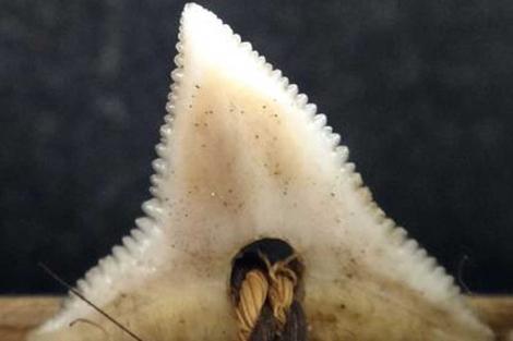 Dentadura de un tiburón de la especie 'C. obscurus'. | Drew/Philipp.