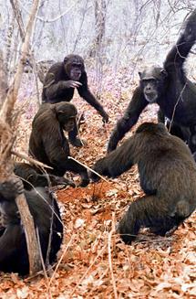 Chimpancés usando herramientas. | D. B.