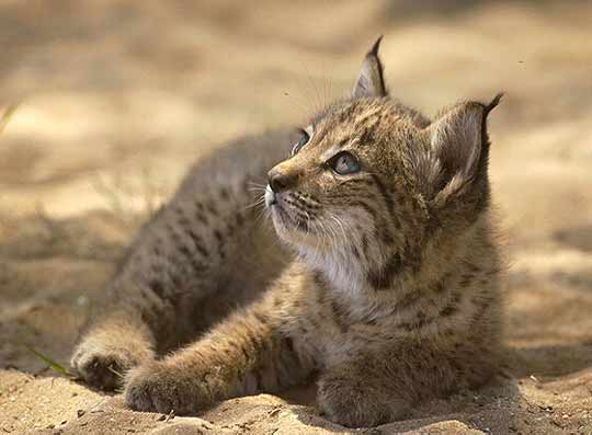 brezo Iberian Lynx: the Next Wild Cat Extinction?