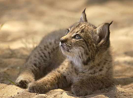 brezo Iberian Lynx: the Next Wild Cat Extinction?