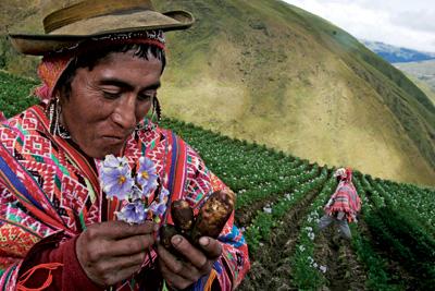 Hallazgo. Un campesino de Cochacochayoc sostiene una nueva variedad de patata, la